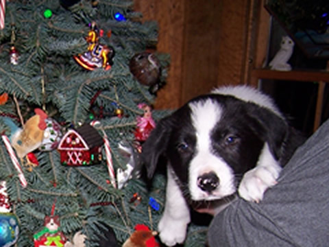 border_collie_puppies