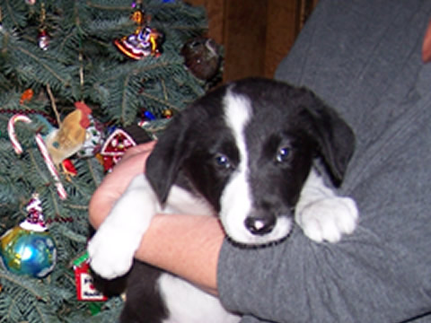 border_collie_puppy