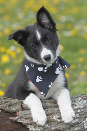 cute border collie puppie