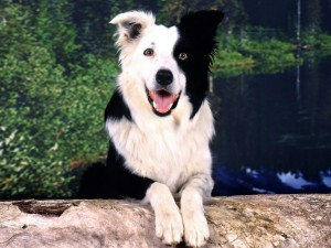 Border Collie Health Issues