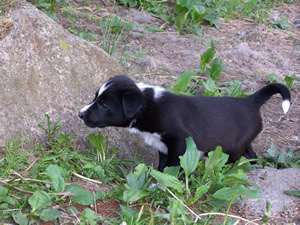Harris Farm Border Collie Puppies